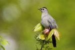 Singing grey catbird in mid-May