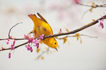 Yellow warbler foraging in blossoming redbud