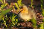 Very young Canada goose gosling