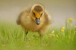 Gosling foraging in grassy field with wildflowers
