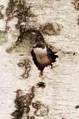 Female tree swallow at natural cavity