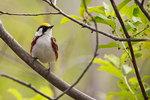 Chestnut-sided warbler in spring migration