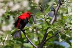 Scarlet tanager in mid-May
