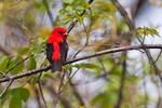Scarlet tanager in spring migration