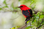 Scarlet tanager with insect