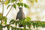 Grey catbird in mid May