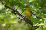 Female yellow warbler on spring nesting grounds
