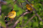 Two yellow warblers during spring migration