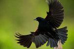 Red-winged blackbird flight close-up