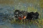 Red-winged blackbird bathing