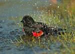 Red-winged blackbird bath