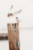 Common tern courtship #9