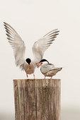 Common tern courtship #5