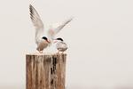 Common tern courtship #11