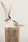 Common tern courtship #12