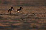 Young oystercatcher chicks
