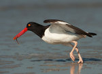 Oystercatcher with marine worm at take-off