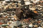 European starling feeding horseshoe crab eggs to young 2 of 2
