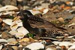 Opportunist European starling with horseshoe crab eggs in bill 1 of 2