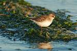 Semi-palmated sandpiper in early light