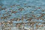 Semi-palmated sandpiper flock about to land; spring migration
