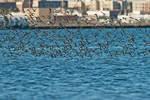 Semi-palmated sandpiper flock in urban environment