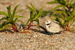 Piping plover in early light