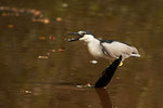 Black-crowned night heron drinking