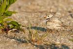 Piping plover sheltering two chicks
