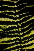 Cinnamon fern pattern