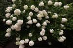 PeeGee hydrangea shrub in bloom
