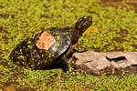Painted turtle with duck weed