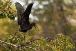 Glossy ibis wing stretch and call / yawn
