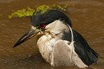 Adult black-crowned night heron bathing