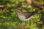 Northern waterthrush in migration