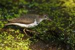 Spotted sandpiper foraging at pond's edge