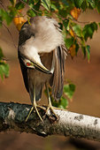 Sub-adult black-crowned night heron preening