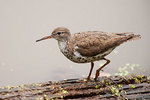 Spotted sandpiper in late August