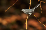 Blue-gray gnatcatcher in early September
