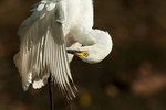 Juvenile snowy egret preening