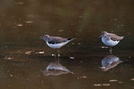 Two solitary sandpipers on September pond