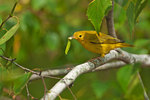 Yellow warbler in late summer with inchworm