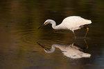 Snowy egret on September
