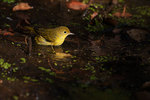 Yellow warbler bath in early September
