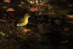 Yellow warbler bath