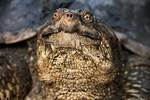 Snapping turtle up-close