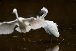Snowy egret altercation