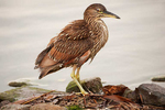 Juvenile black-crowned night heron with unusual reddish plumage