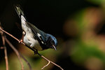 Black-throated blue warbler foraging in autumn woods
