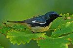 Black-throated blue warbler in yet green October woods